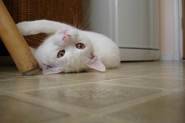 Como gatos demostram seu amor pelo dono